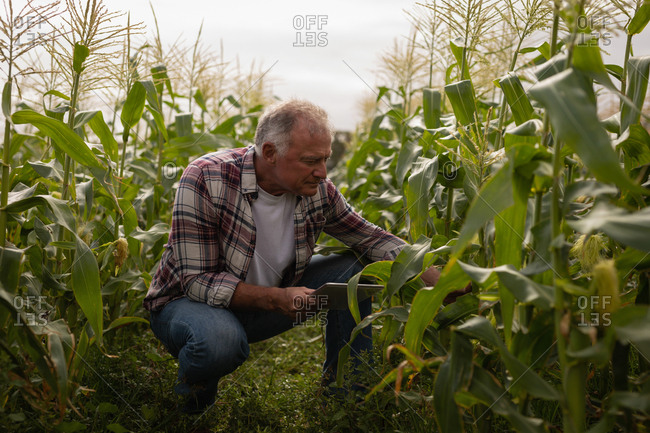 Front view of senior  Caucasian male farmer looking at corn plant in the field at farm while holding digital tablet