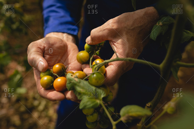 Close-up view of male farmer in coverall examining new cherry tomatoes in the field at farm