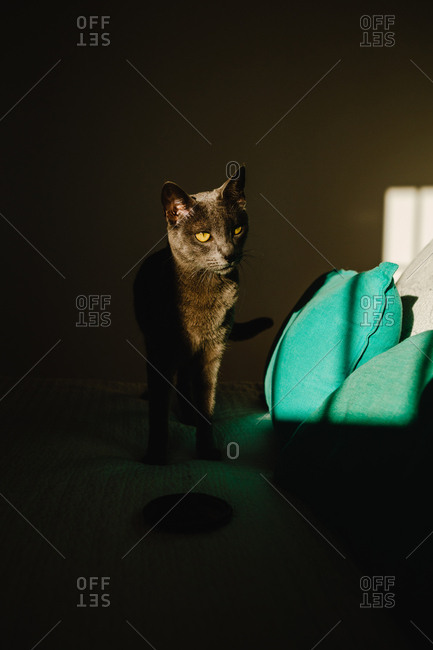 Cute cat standing on a bed under a ray of light in a dark bedroom