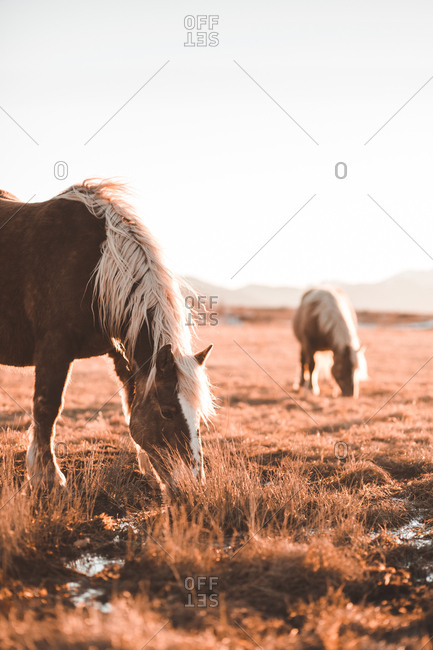 Side view of beautiful horses pasturing on meadow