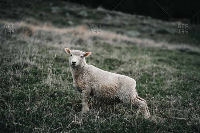 Small fluffy lamb standing on green grass in meadow in Mount Maunganui, New Zealand