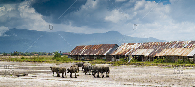 Tropical farmland with bulls on field against cloudy sky with mountains, Cambodia