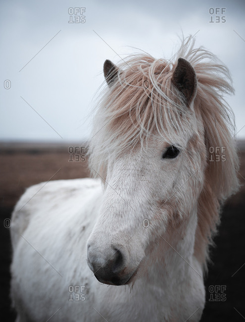 Beautiful horses outdoors in Iceland