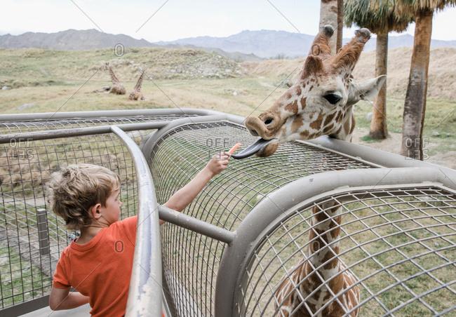 Young boy feeding a giraffe