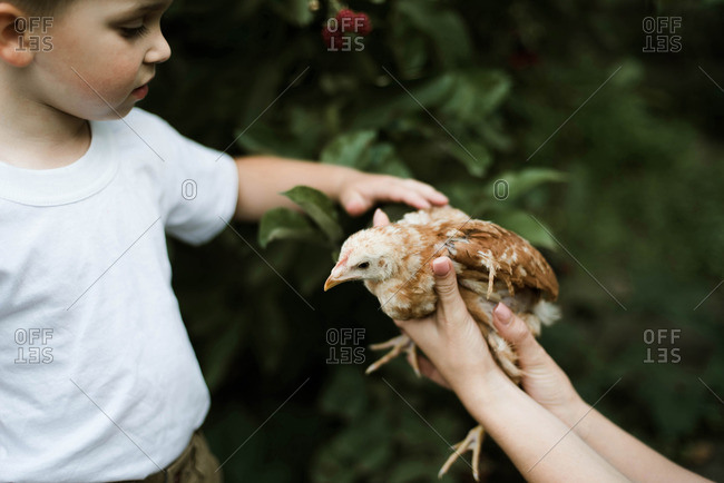 Little boy touches a chicken on a farm.