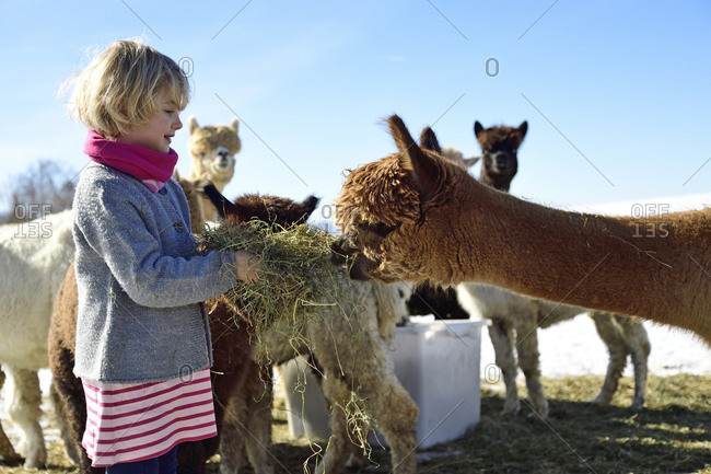 Girl feeding alpacas with hay on a field in winter