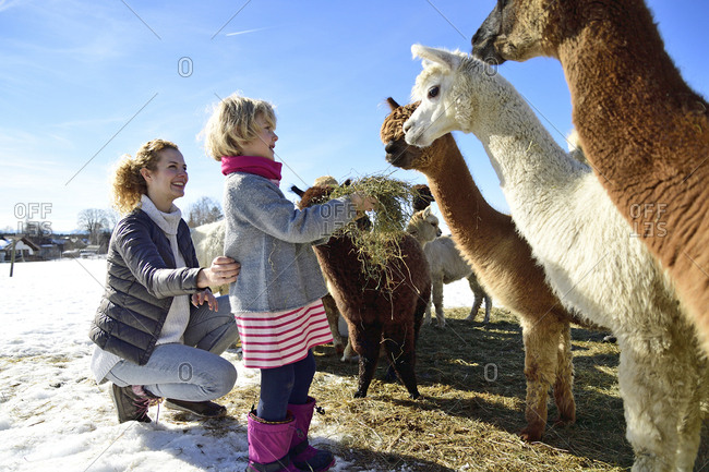 Mother and daughter feeding alpacas with hay on a field in winter