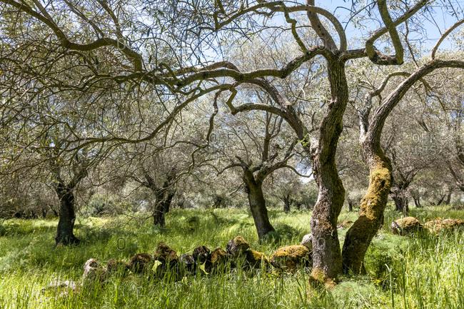 Italy- Sardinia- olive trees
