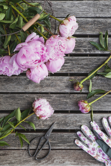 Peonies in basket on garden table with pruner and garden gloves
