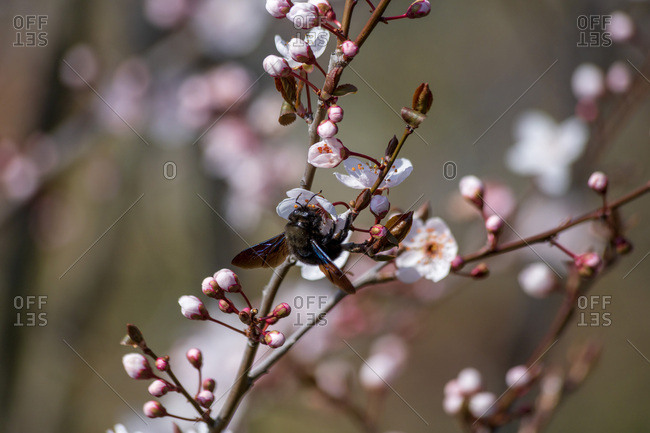 Carpenter bee at blossom of tree