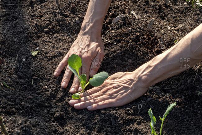 Man planting kohlrabi - Offset Collection