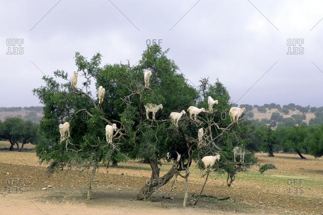 Morocco- Sidi Kaouki- goats climbing on argan tree