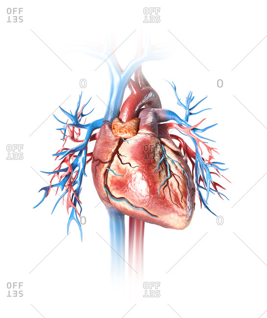 Human heart with vessels close-up. Isolated on white background.