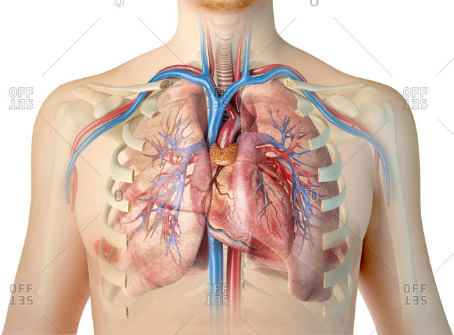 Human heart with vessels, lungs, bronchial tree and cut rib cage. On white background.