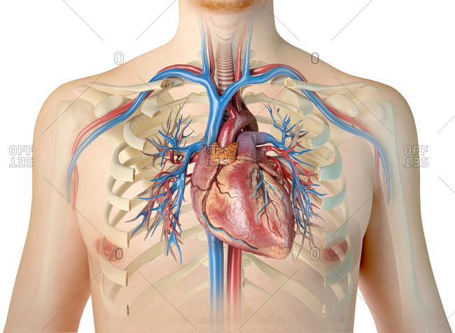 Human heart with vessels, bronchial tree and cut rib cage. On white background.