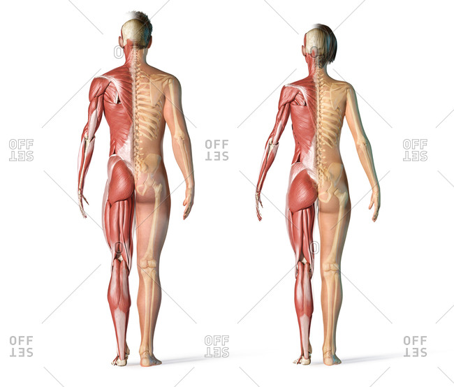 Male and female muscles and skeletal systems rear view. Full figure standing on white background.
