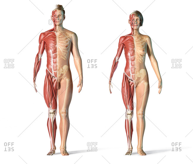 Male and female muscle and skeletal systems front view. Full figure standing on white background.