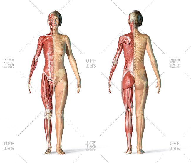 Female skeletal and muscular systems, rear and front views. On white background.