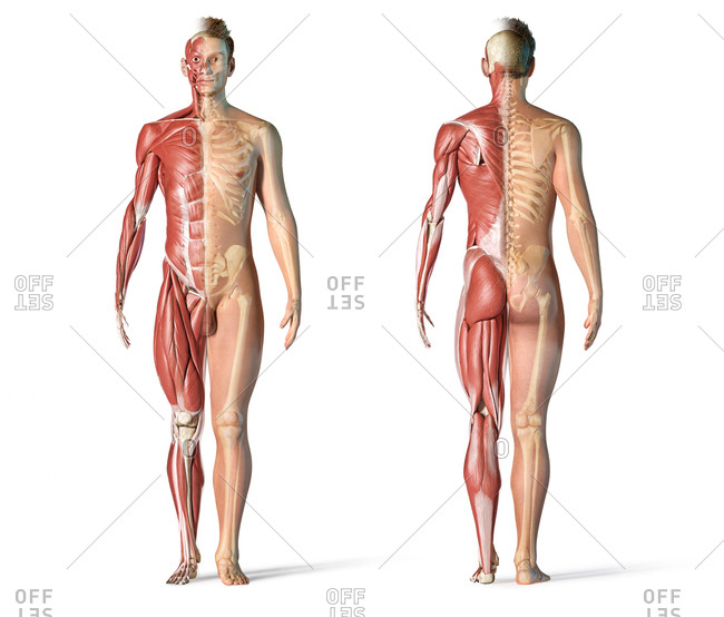 Male anatomy muscular and skeletal systems. Front and back view on white background.