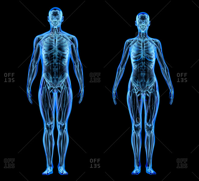 Male and female muscle and skeletal systems. X-ray effect on black background.