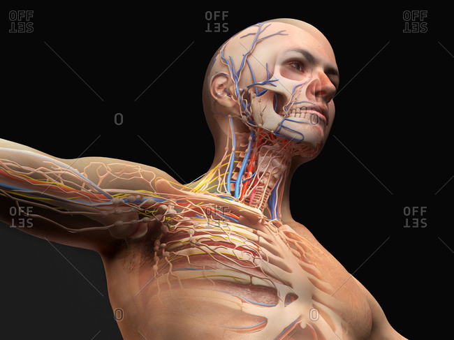 Male head and chest anatomy diagram with ghost effect. Skeletal, cardiovascular, nervous and lymphatic systems.