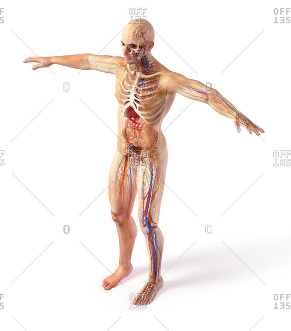 Male total anatomy systems diagram with ghost effect. Full figure standing on white background.