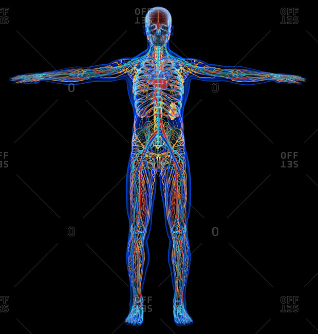 Male diagram x-ray cardiovascular, nervous, lymphatic and skeletal systems. On black background.