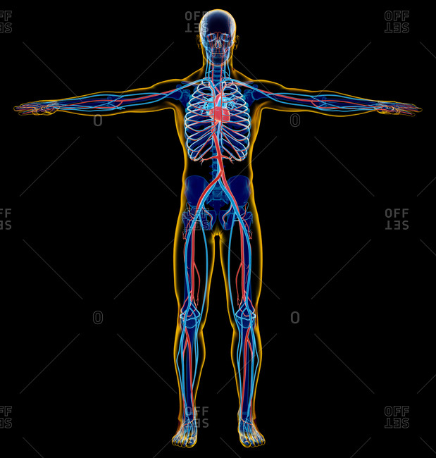 Male skeletal and cardiovascular system. x-ray. Full figure standing on black background.