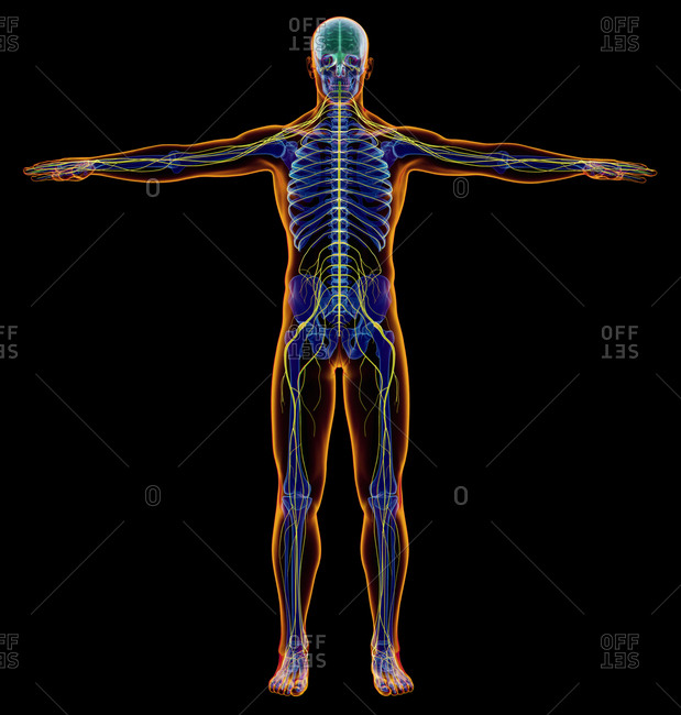 Male diagram x-ray nervous system. Full figure on black background.