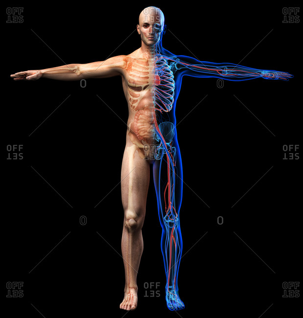 Male skeletal, internal organs diagram and x-ray cardiovascular system. Full figure standing on black background.