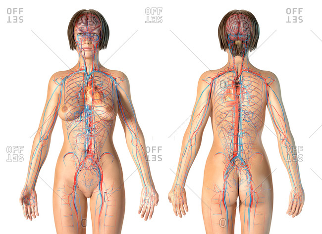 Female anatomy cardiovascular system, rear and front views. On white background.