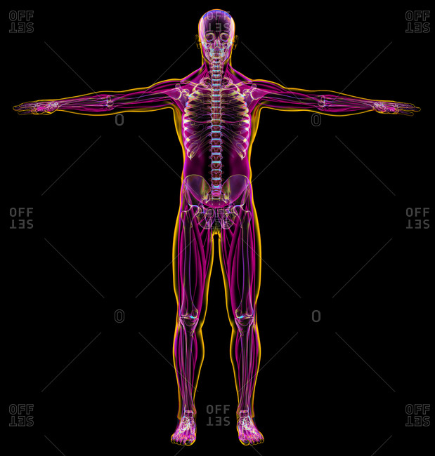 Male diagram x-ray muscular and skeletal systems. On black background.