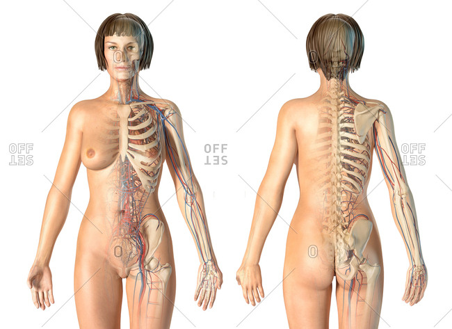 Female anatomy cardiovascular system with skeleton, rear and front views. On white background.