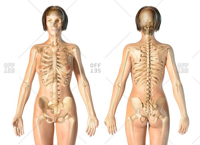 Female skeletal system front and rear views. On white background.