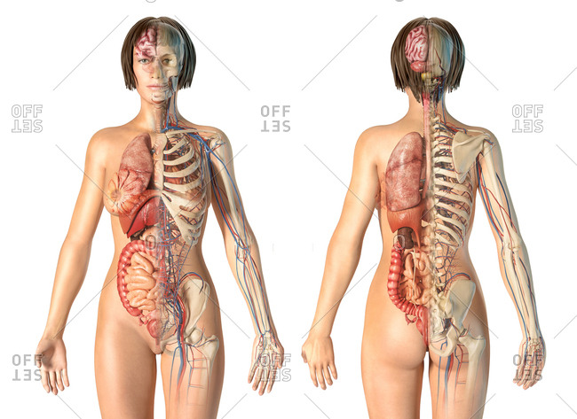 Female anatomy cardiovascular system with skeleton and internal organs, rear and front views.
