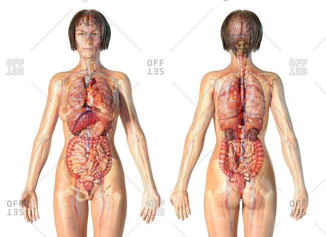 Female anatomy cardiovascular system with skeleton and internal organs. Ghost effect on white background.