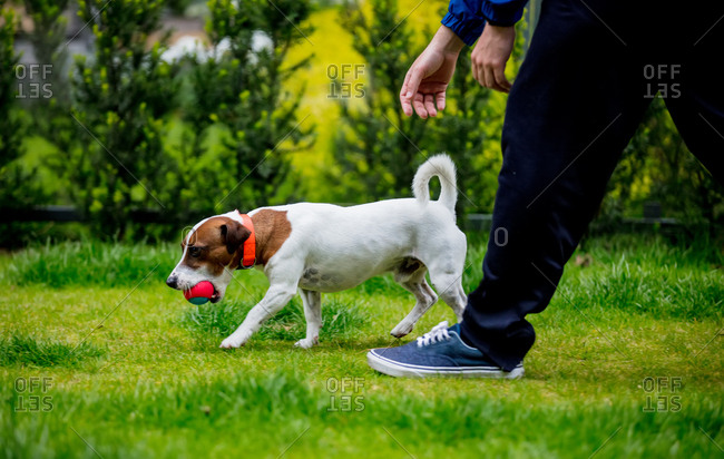 a small dog of the breed of Jack Russell Terrier plays in the meadow
