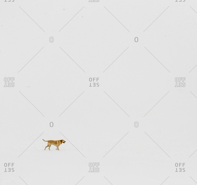 Golden labrador dog walking in the snow