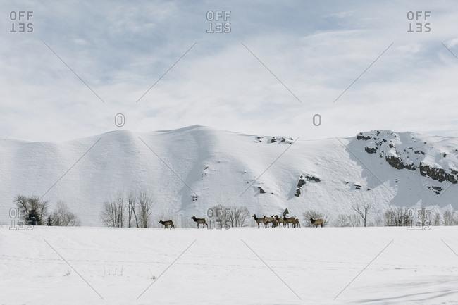 Elk herd crossing a snowy landscape near Sun Valley, Idaho