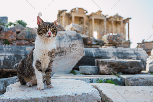 Adult beautiful pretty cat sitting on ancient stones of old cultural ruins and resting at Ephesus, Turkey