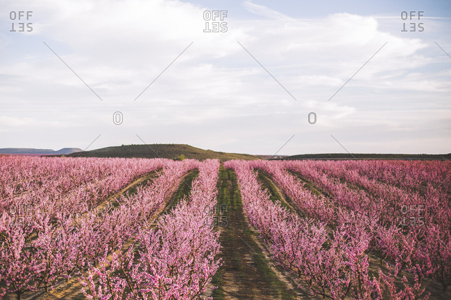 Spain- Lleida- peach blossom