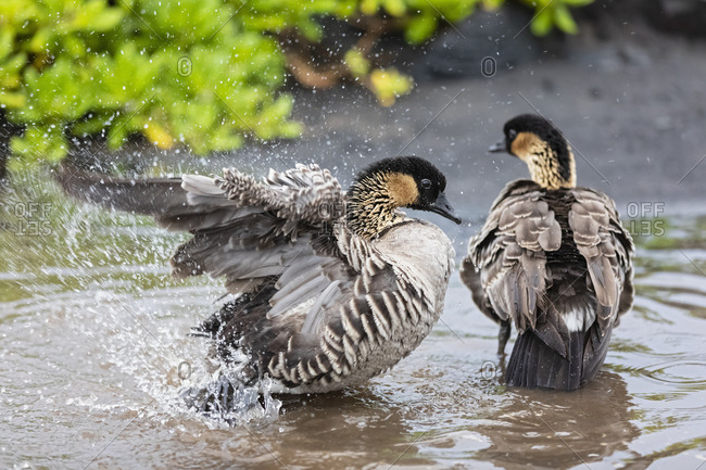 USA- Hawaii- Big Island- Volcanoes National Park- two Hawaiian geese taking a bath