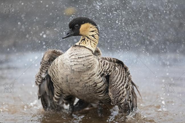 USA- Hawaii- Big Island- Volcanoes National Park- Hawaiian goose taking a bath