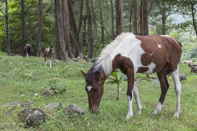 USA- Hawaii- Big Island- wild horses