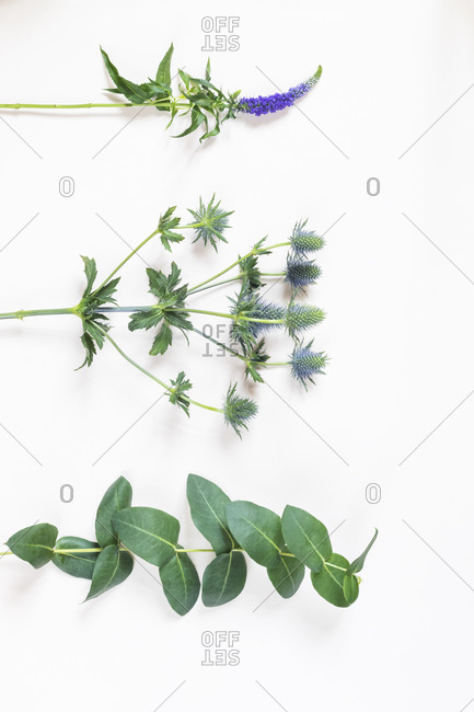 Longleaf speedwell- Veronica longifolia- amethyst sea holly- Eryngium and Balsam apple- Clusia major on white background