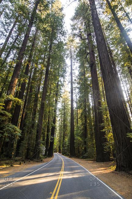 USA- California- road leading through the redwood trees