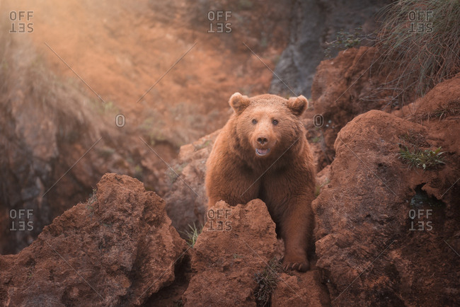 Fearsome large brown northern bear walking in red rocky terrain