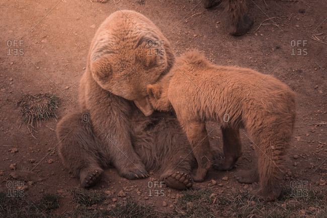 Mother bear playing with bear cubs