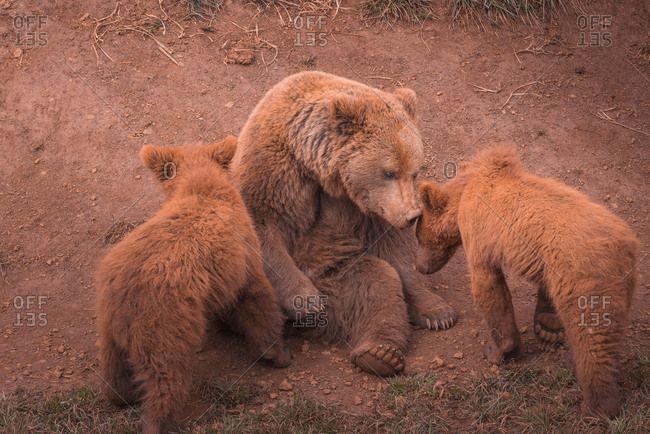 Big brown mother bear sitting and playing with bear cubs in forest