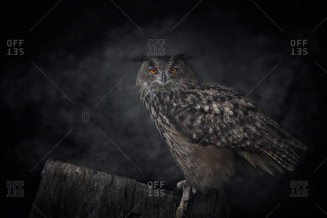Grey owl standing on tree